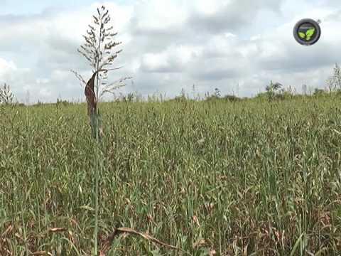 Guinea and Multi-cut sorghum fodder grasses