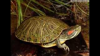Cuidados Básicos de tortugas de orejas rojas