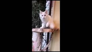 JERRI дома просто Айс - белый солидный кот Мейн-кун