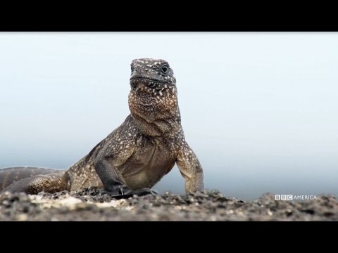 NEW PREMIERE DATE: Feb. 18th | Iguana vs Snake - Planet Earth II on BBC America