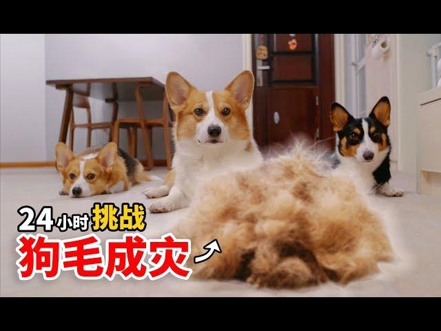 【小短腿Duby】柯基有多掉毛?三只柯基一天又能掉多少毛?结果非常惊人