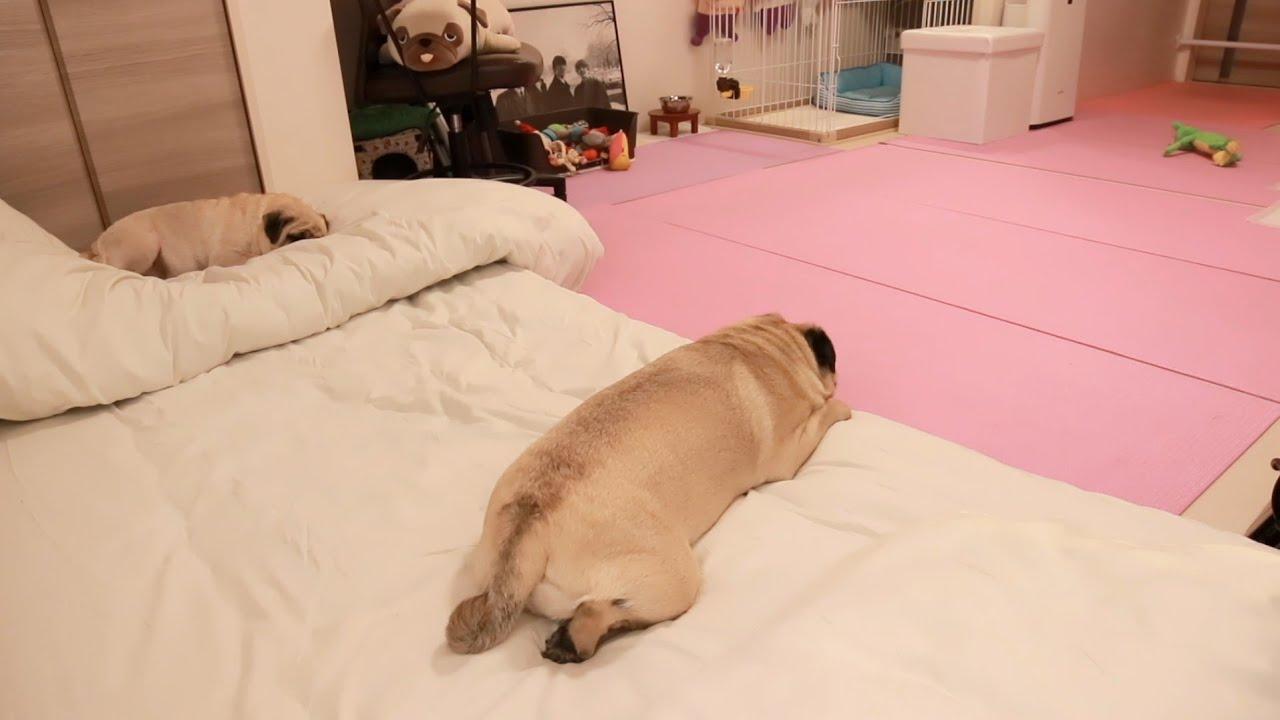 【パグ親子】本当はお母さんと一緒に寝たいツンデレ息子の様子をモニタリング