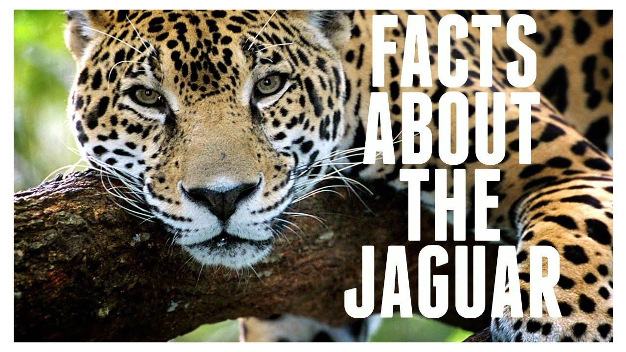 Facts About The Jaguar