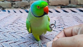 Romeo So Amazing Talking Parrot || A One Of The Unique New Member Of Talking Parrot Family