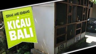 DUNIA HOBI : Ternak Anis Kembang Mudah Dan Menyenangkan Ala Kicau Bali