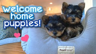Meet our new YORKIE PUPPIES!