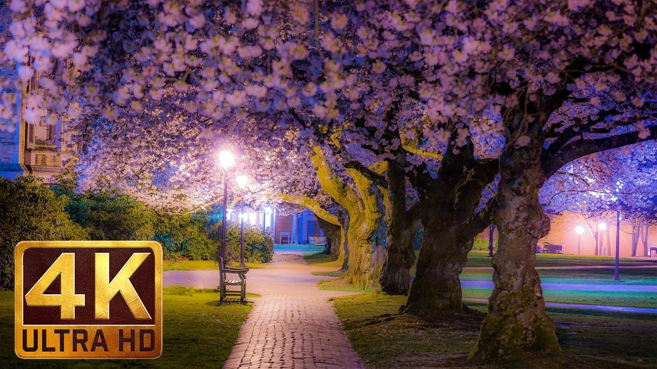 Cherry Blossom at The University Of Washington on a Rainy Day - Spring 2017 - Trailer