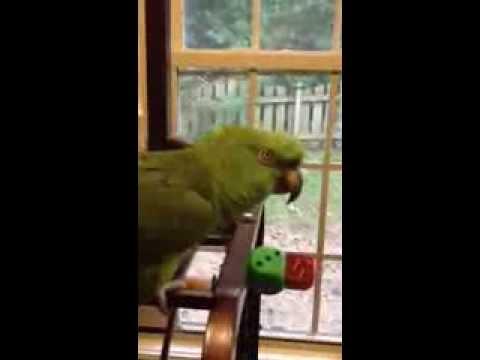 Parrot sings Margaritaville