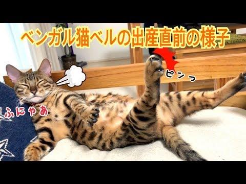 ベンガル猫ベルの出産直前の様子