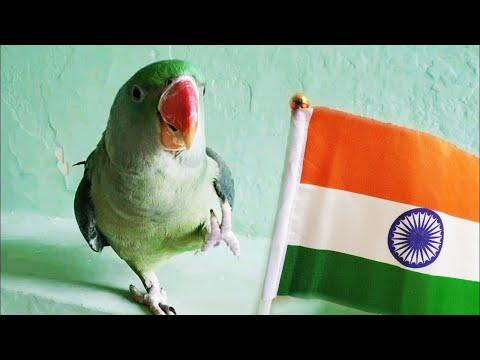 bird-saluting-the-flag-🇮🇳 -jana-gana-mana- 🇮🇳-national-anthem,-republic-day- -26-jan-#parrotworld
