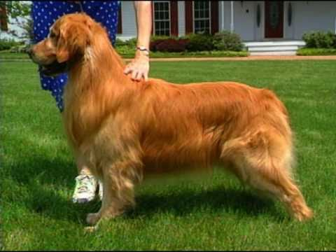 In The Ribbons, The Dog Show Game- The Golden Retriever