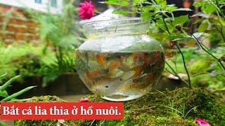 Bắt cá lia thia ( cá thiên đường, săn săt,...)và bẫy trầu ở hồ nhà  Cá nhiều và đẹp