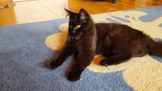 Шикарная черная кошка мейн-кун