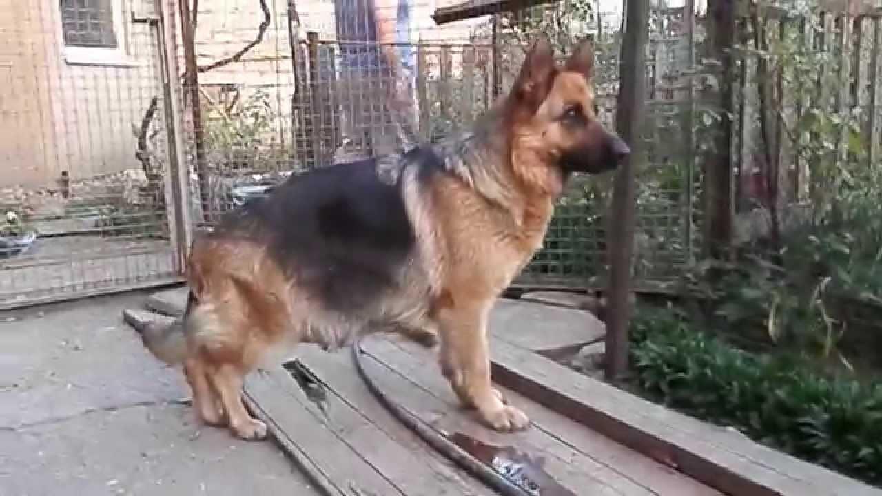 Немецкая овчарка. беременность