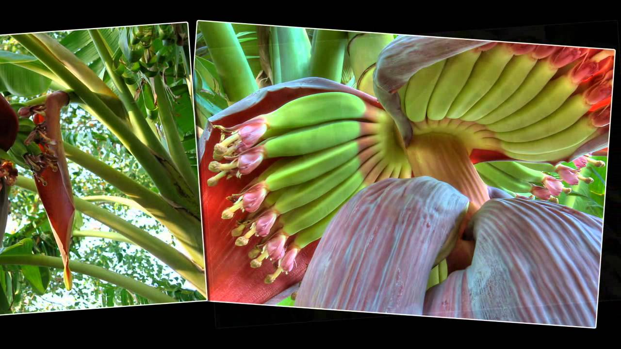 Do You Know Banana Tree Flower Fruit And Seed Youtube