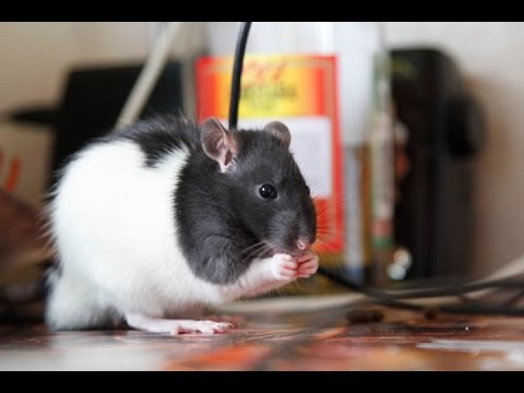 Как ухаживать за крысой