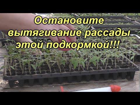 Первая и ОЧЕНЬ важная подкормка рассады томатов! | вытягивание | выращивание | рассадник | подкормка | помидоры | рассада | томаты | когда | чем