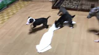 トレノっ子達、おうちの先輩犬達に毎日遊んでもらってます。 特にウエス...