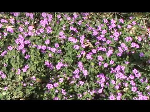 Purple Trailing Lantana Ground Cover Youtube