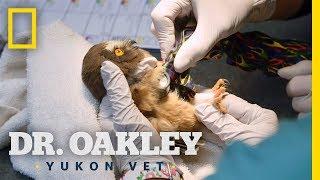 Owlet Gets Help From Dr. Oakley | Dr. Oakley, Yukon Vet