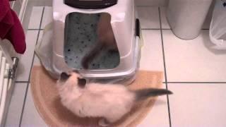 Birman kittens first day home - part 1 - unedited
