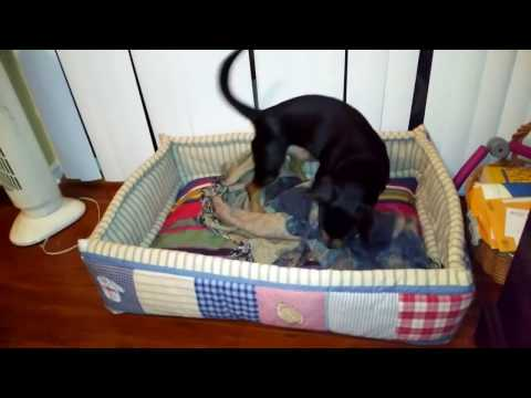 My pet learning to make his bed