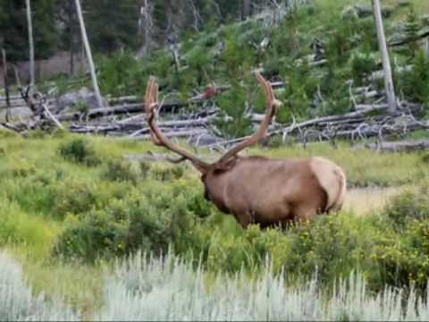 Wildlife Of Yellowstone Moose Buffalos Rams