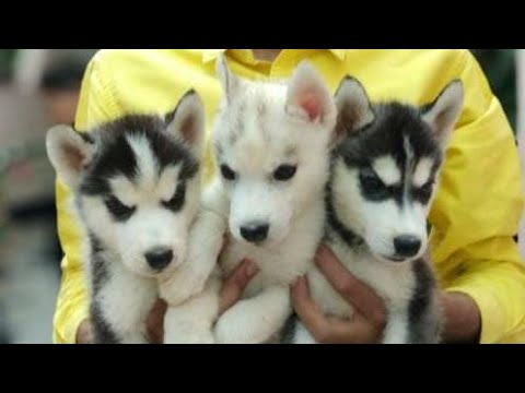 Dog breed - Siberian husky puppy available By- Brother's pet care