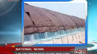 A million cockroaches escape from farm  - Media Watch - Aug.27th.,2013 - BONTV China