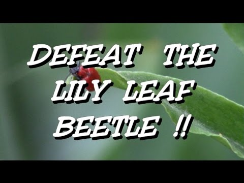 Scarlet Red Lily Leaf Beetle pesticidefree control
