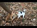 Parson Russell Terrier: Jagdhundetraining am erlegten Fuchs / train working dog…