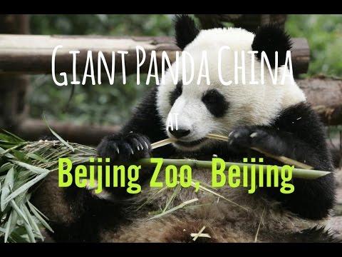 Beijing Day 2 Part 2: Beijing Zoo & Giant Panda China - Travel Vlog