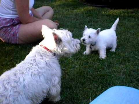 westie puppy chats with 10 year old westie who gets the. Black Bedroom Furniture Sets. Home Design Ideas