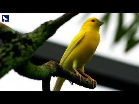 Suara Burung Kenari Betina Untuk Memancing Kenari Jantan Mandek / Cepat Gacor