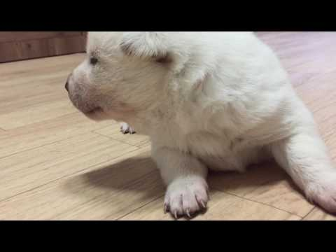아기 진돗개 강아지 #2 korea jindo dog baby puppy 걷기 walking