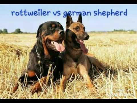 Rottweiler vs german shepherds facts - YouTube