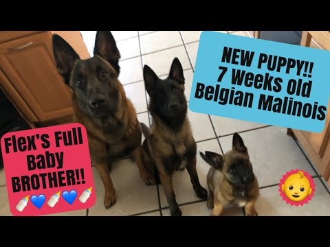 New Puppy!! 7 week Old Belgian Malinois/It's vertical SORRY!!!
