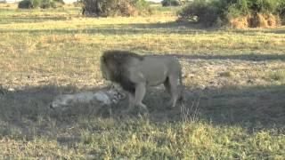 Duba Lion sex 12014 8 18 Day 5