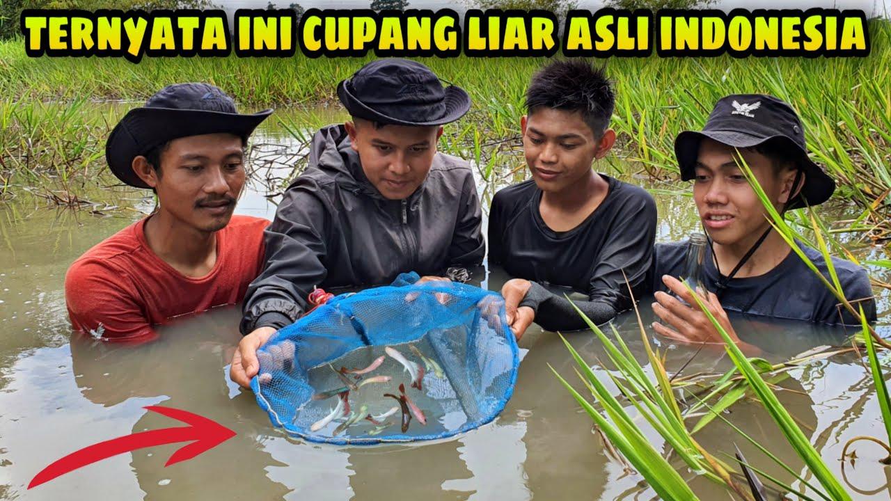 Beruntung! Menemukan Sarang Ikan Cupang Liar di Rawa-rawa, Auto Panen!