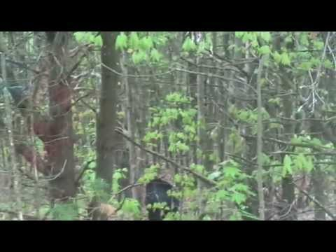 BLACK BEAR spotted at Townsend, Massachusetts
