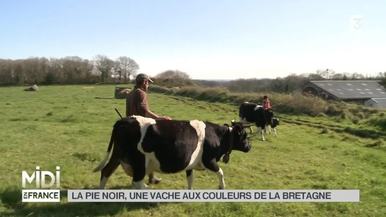 ANIMAUX : La pie noir, une vache aux couleurs de la Bretagne - YouTube