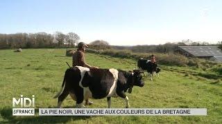 ANIMAUX : La pie noir, une vache aux couleurs de la Bretagne