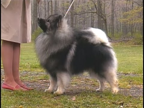 Keeshond - Wolfspitz - AKC dog breed series