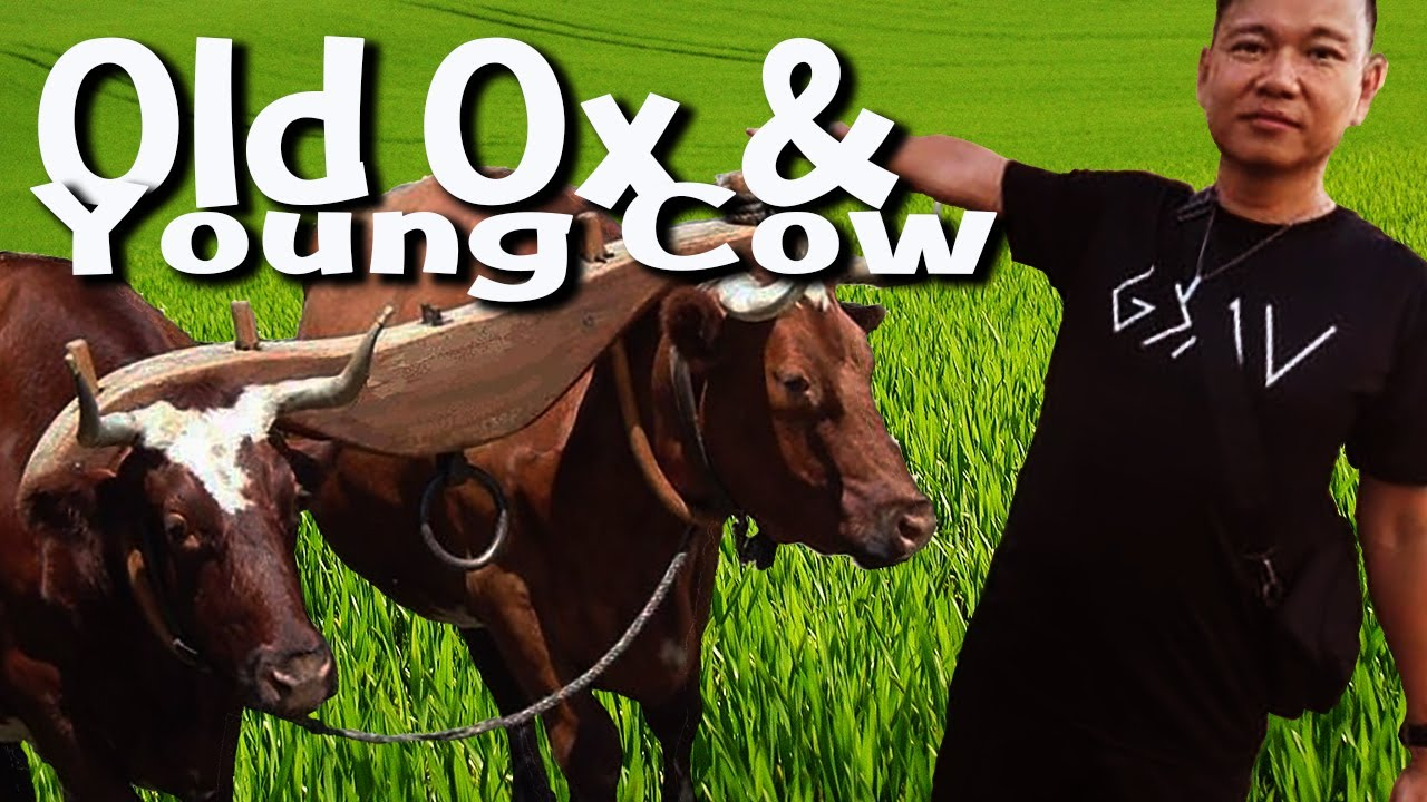 14th Sunday of Ordinary Time - Old Ox & Young Cow - Fr Simon Lau/ 2020