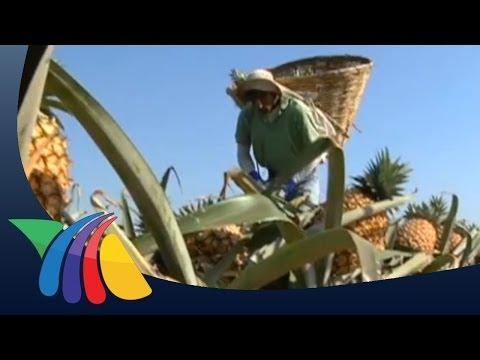 Cosechan piñas en Veracruz