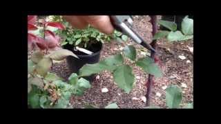 How to Prune a Hybrid Tea Rose Bush