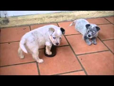My Blue Heeler (Australian Cattle Dog) and her puppies