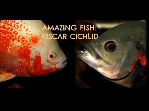 Tiger Oscar Cichlid: Amazing Fish