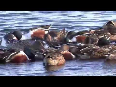 Northern Shoveler Ducks Pinwheeling