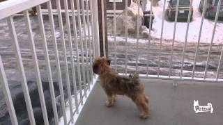 Wheaten Terrier Puppy Out On The Deck For The First Time
